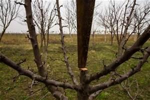 Aprikosenbaum Selber Ziehen : einen jungen pfirsichbaum schneiden so machen sie es richtig ~ A.2002-acura-tl-radio.info Haus und Dekorationen