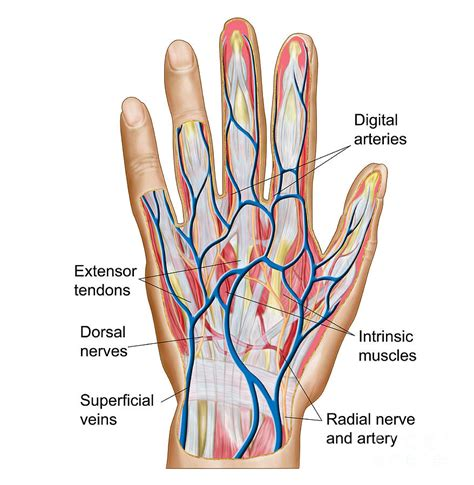Human Hand Anatomy Diagram  Human Anatomy Chart. Runners World Treadmill Reviews. Real Estate School Boise Injury Lawyers In Nj. Best Pmp Online Course Satellite Phone System. Divorce Laws In Oklahoma All American Hearing