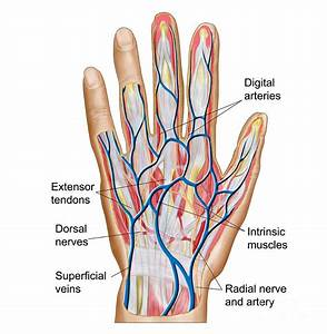 Anatomy Of Back Of Human Hand Digital Art By Stocktrek Images