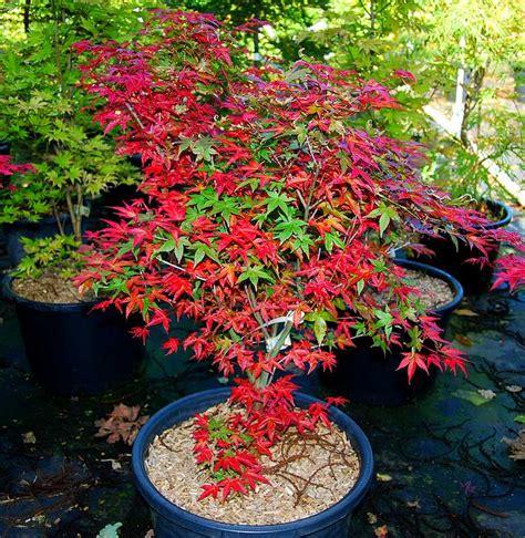 plantes oasis erable du japon shindeshojo