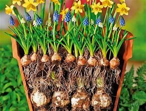 Tulpenzwiebeln Im Topf Pflanzen : blumenzwiebeln richtig pflanzen blumenzwiebeln ~ Lizthompson.info Haus und Dekorationen