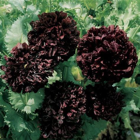 black poppy flower peony seeds black peony poppy flower seed