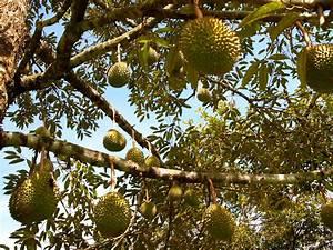 On the Trail of Durian, Southeast Asia's 'Crème Brûlée on ...
