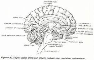 Blank Brain Diagram   Blank Brain Diagram Inner Brain