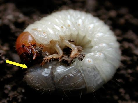 white grubs in garden soil integrated management of turfgrass insects