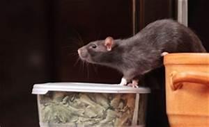 Was Fressen Ratten : ratten bek mpfen schnell nachhaltig bewertet de ~ One.caynefoto.club Haus und Dekorationen