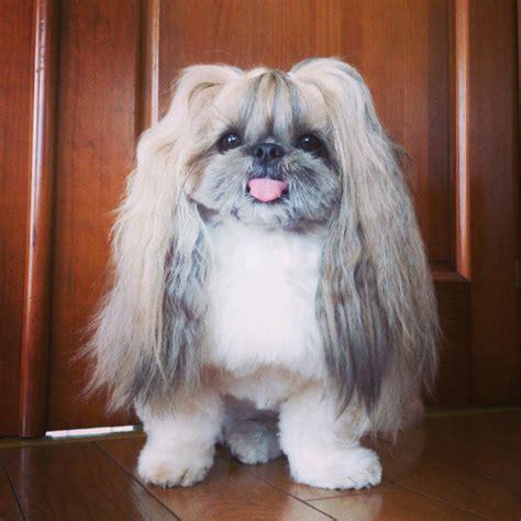 derpy dog    fabulous hair  instagram