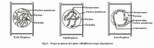 Mitosis In Plant Cells Diagram