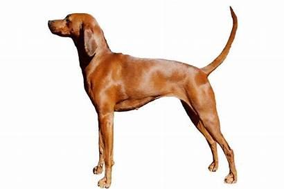 Redbone Coonhound Dog Breed Hound Care Wiki