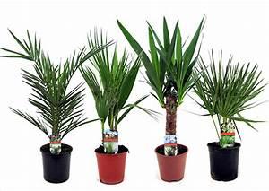 Palmen Für Die Wohnung : palmen online ~ Markanthonyermac.com Haus und Dekorationen