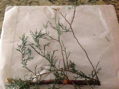 juniper ask rust window