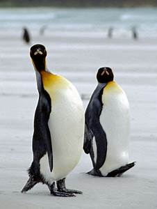King Penguin Facts And Pictures Frompo Game 1   Autos Post
