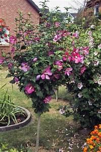 Maden Im Müll : hibiskus berwintern ~ Markanthonyermac.com Haus und Dekorationen