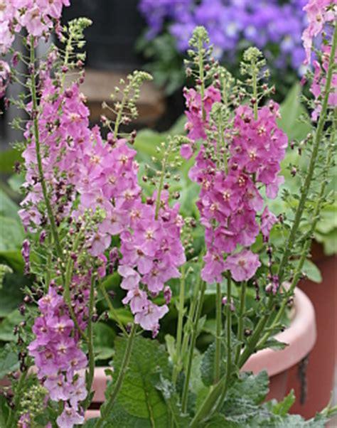 verbascum phoeniceum rosetta