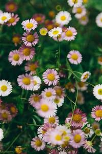 Free Images : f... Daisy