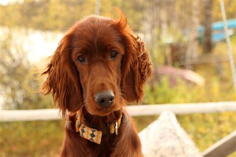 irish setter dog breed characteristics fun facts