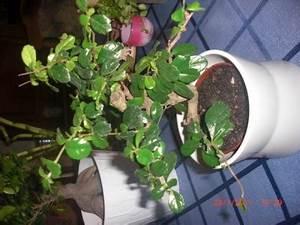 Ficus Bonsai Schneiden : ficus gingseng bonsai carmona bonsai frage pflegen schneiden veredeln green24 ~ Indierocktalk.com Haus und Dekorationen