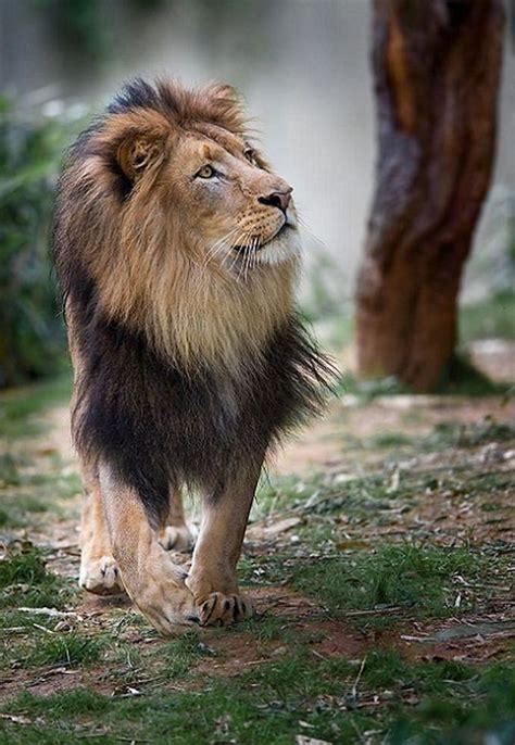 ideas  lion mane  pinterest lions mane