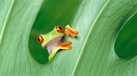 Green Animal Wallpaper - green frog animals hibian leaves eyed tree