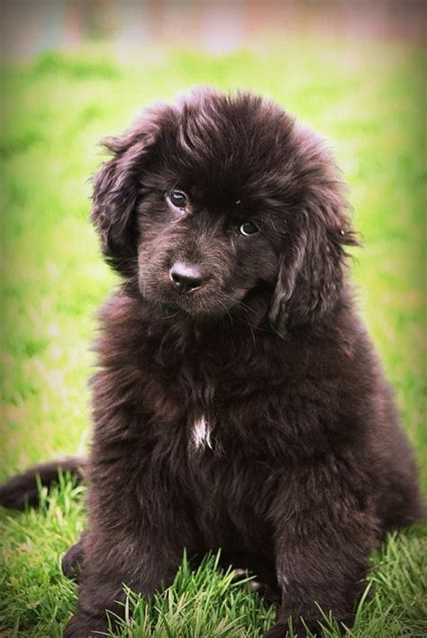 newfoundland dog biological science picture directory