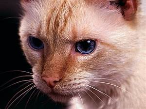Domestic Shorthair Cat - Information, Health, Pictures ...  Domestic