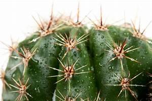 Pflanze Mit Stacheln : kaktus mit stacheln in den rozsa tropfen auf wei em hintergrund stockfoto colourbox ~ Frokenaadalensverden.com Haus und Dekorationen
