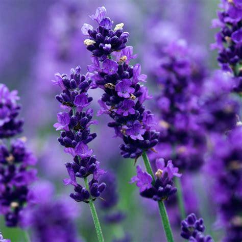 lavender plants buy buy lavender lavandula angustifolia imperial gem delivery by waitrose garden in association