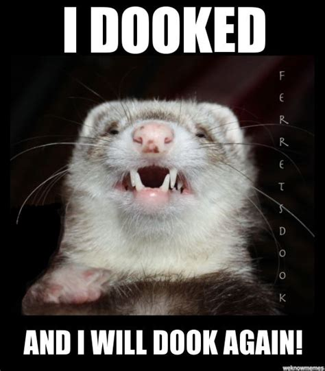 Ferret Meme - 414 best ferrets images on pinterest ferrets baby ferrets and cousins