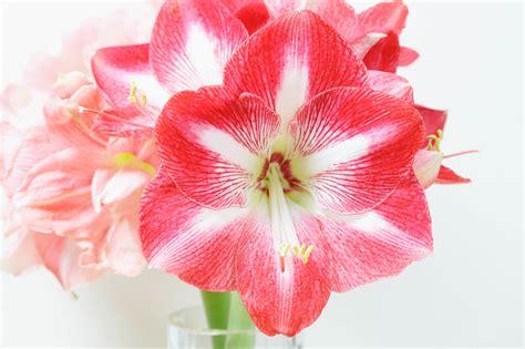 amaryllis im glas mit moos amaryllis im glas pflege ohne oder mit moos dekorieren