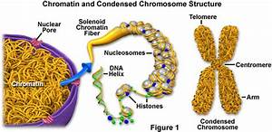 General Science Info  Chromatin