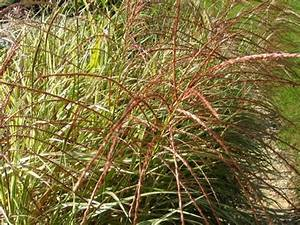 Miscanthus Sinensis Variegatus : miscanthus sinensis 39 variegatus 39 chinese silver grass moisture loving plants ~ Eleganceandgraceweddings.com Haus und Dekorationen