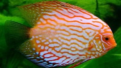 Fish Discus Tropical Desktop Wallpapers Background Animal