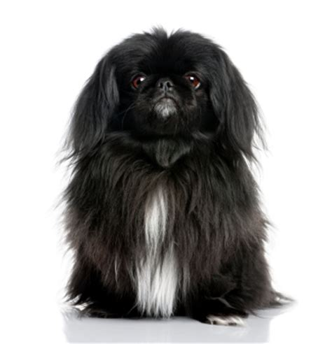 pekingese information facts pictures training  grooming