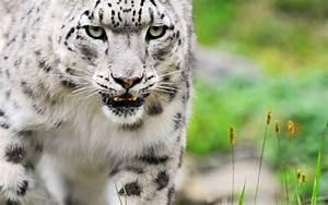 white tiger animal wallpaper | Desktop Backgrounds for ...
