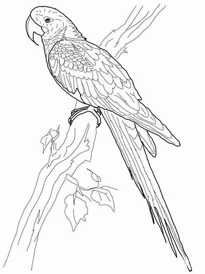 Macaw Coloring Pages Hyacinth Parrot Bird Printable