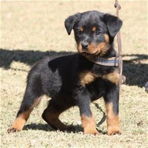 Female Rottweiler Dogs
