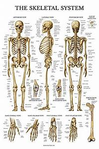 Skeletal System Anatomical Chart Laminated Human Skeleton