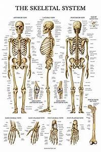 Skeletal System Anatomical Chart Laminated Human Skeleton