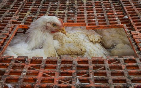 Birds, just like people, get the flu. Bird Flu in Poultry Confirmed in 5 States So Far, Culling Operations On