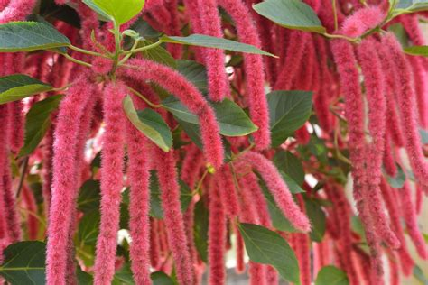 grow  care  chenille plants