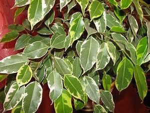 Ficus Benjamini Vermehren : the ultimate ficus benjamina care guide 101 tips ~ Lizthompson.info Haus und Dekorationen