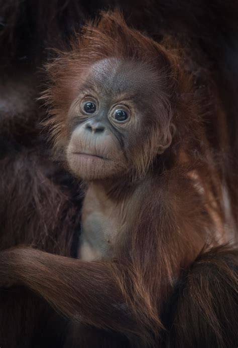 zoo chester oil unsustainable flower orangutan spring early palm food named zooborns keepers introduces primate female teams fight against festival