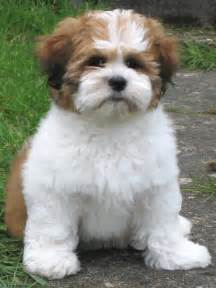 lhasa apso photos the wallpaper best the wallpaper i animals