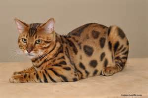 bengals cats bengal cat facts pictures information rescue