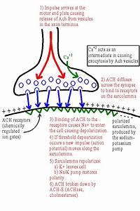 Neuromuscular Junction; Myoneural Junction; Nerve-Muscle ...