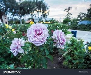 Mainzer Fastnacht Rose : close violet rose mainzer fastnacht blue stock photo 472803907 shutterstock ~ Orissabook.com Haus und Dekorationen