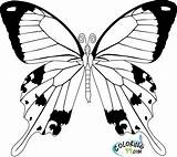 Coloring Butterfly Pages Easy Cycle Simple Drawing Cool Fancy Printable Adults Template Getdrawings Realistic Clipart Colorings Colors Title Team Getcoloringpages sketch template