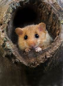 Dormouse Animal