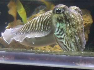 Cuttlefish Basics - Keeping a Cuttlefish as a Pet | The ...