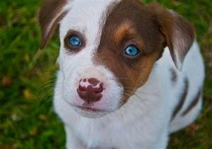 Dog Breeds That Can Have Blue Eyes - Nuzzle - Your GPS Pet ...